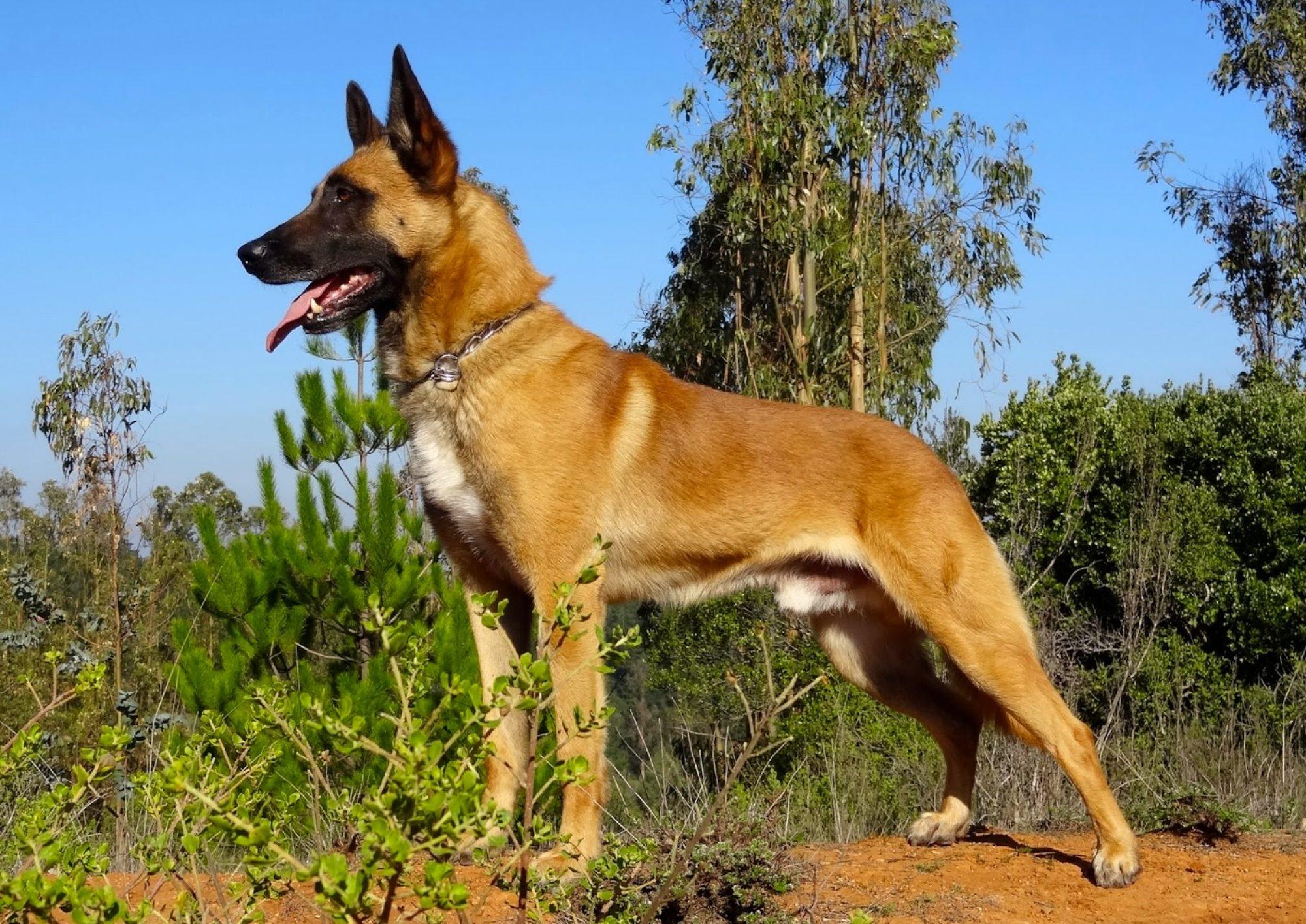El Caliu Adiestramiento Canino